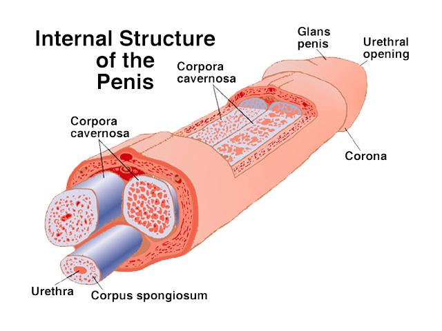genetics penis length denunciation equable